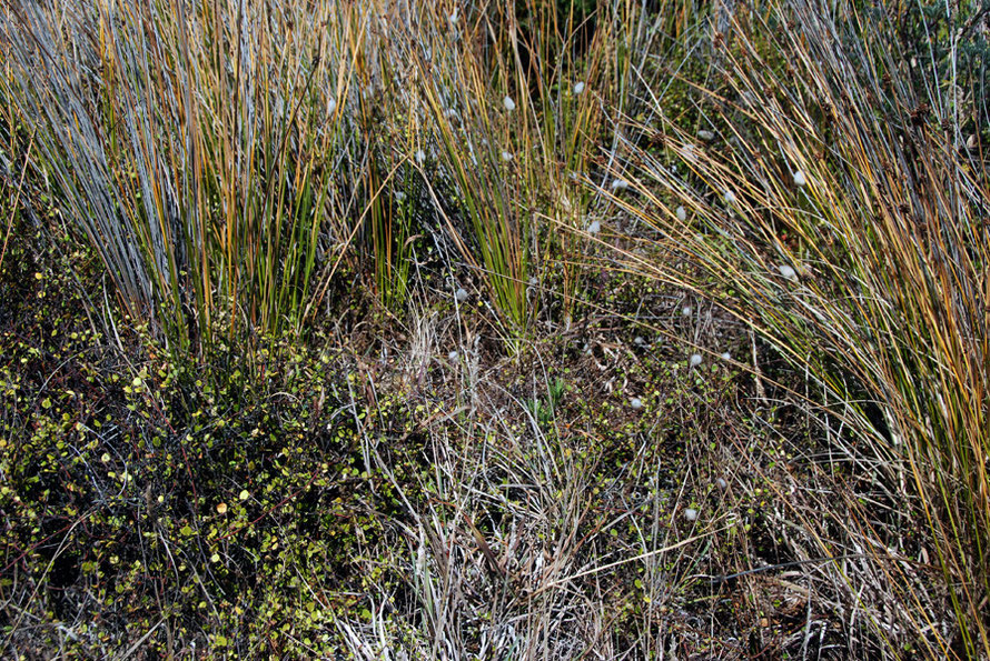 Ensemble of creeping plants, marram grass and a cotton grass colonising the dune edges at Karekare.