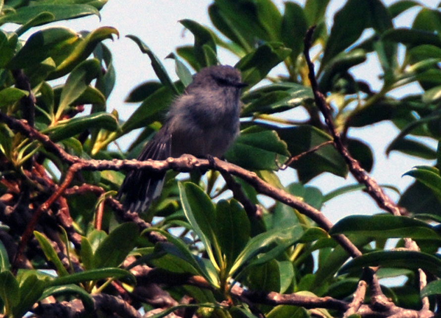 New Zealand fantail. Immature South Island black morph.