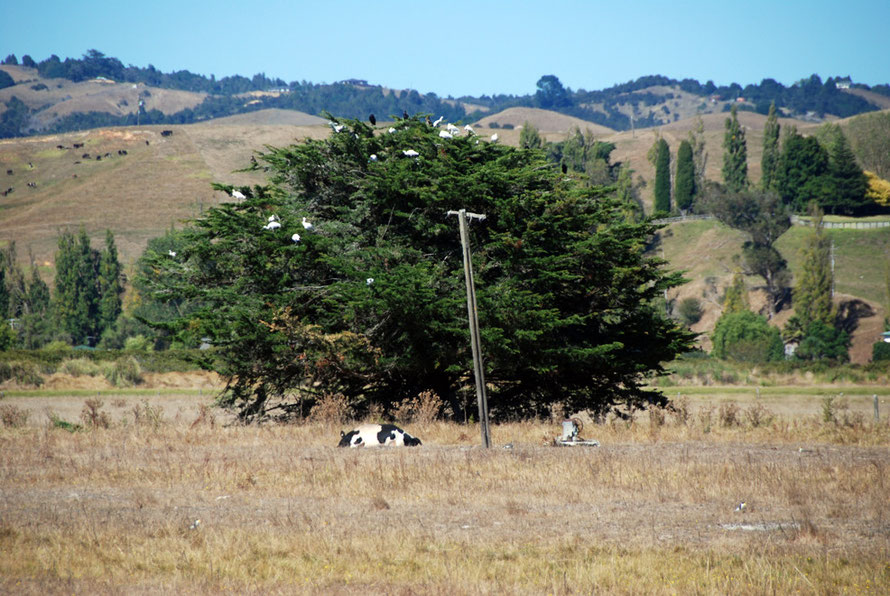 Spoonbill roost tree (macrocarpa) at Miranda