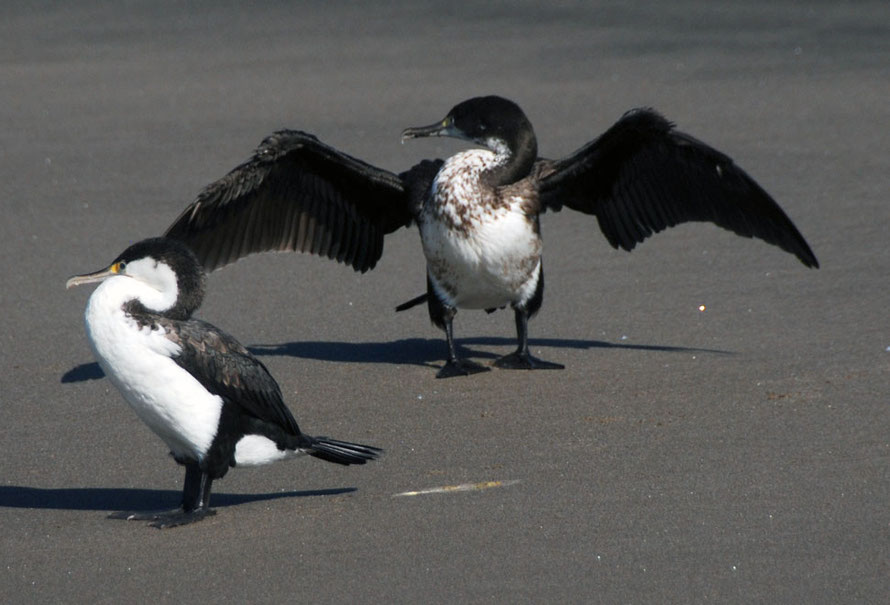 Pied shag (Phalacrocorax varius) on black sands near Ninepin Rock, Whatipu at the entrance to Manukau Harbour, Auckland.