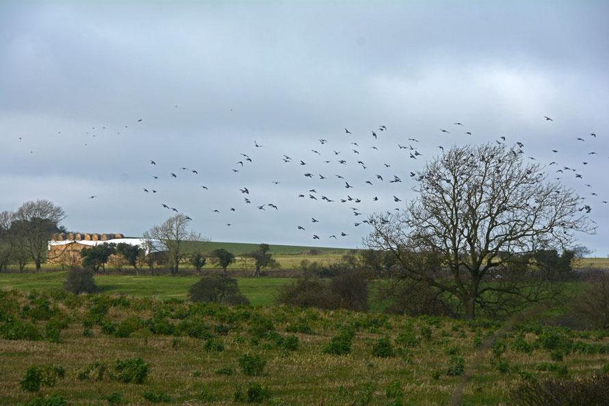 Straw, pigeons, ash tree.