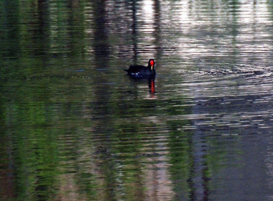 MoorhenThis Red Knobbed Coot (fulica cristata) was also on the pond at Montagu