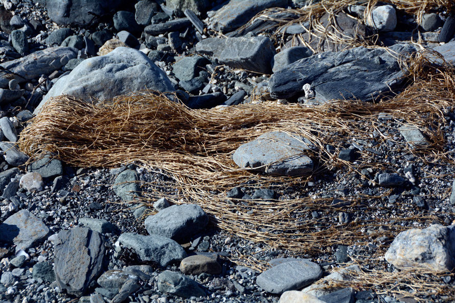 Knotty flaxen-haired plant remains on the shore at Russelv.