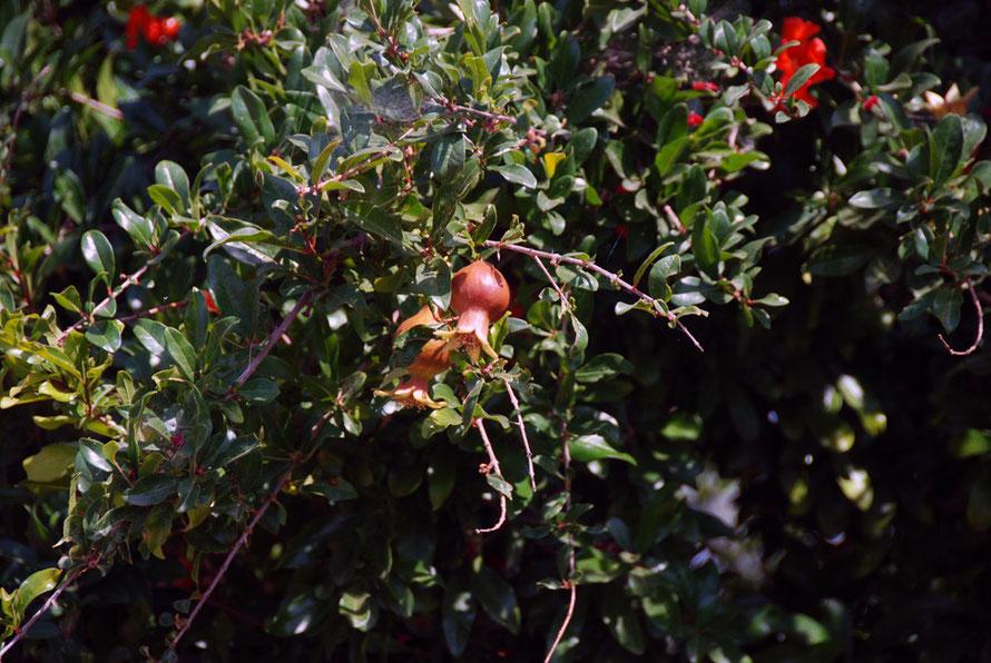 Pomegranite growing near Peristerona in June
