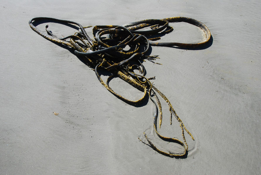 Sea weed (Bull Kelp) left on the Victory Beach, Otago Peninsula.