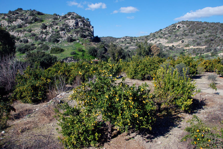 Lemon orchard on the banks of the Maroni stream at the foot of the Khirokitia outcrop