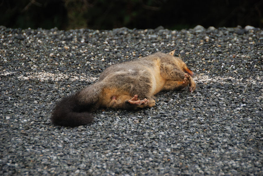 Dead Possum, New Zealand's Public Enemy Number One. Introduced from Australia in the 1800s to start a domestic fur trade