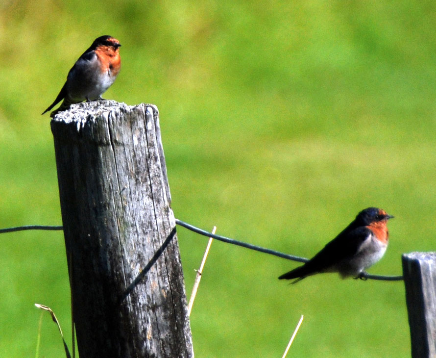 Welcome Swallows (Hirundo neoxena) at Whatipu. Self-introduced from Australia they have grown massively in population since the 1960s.