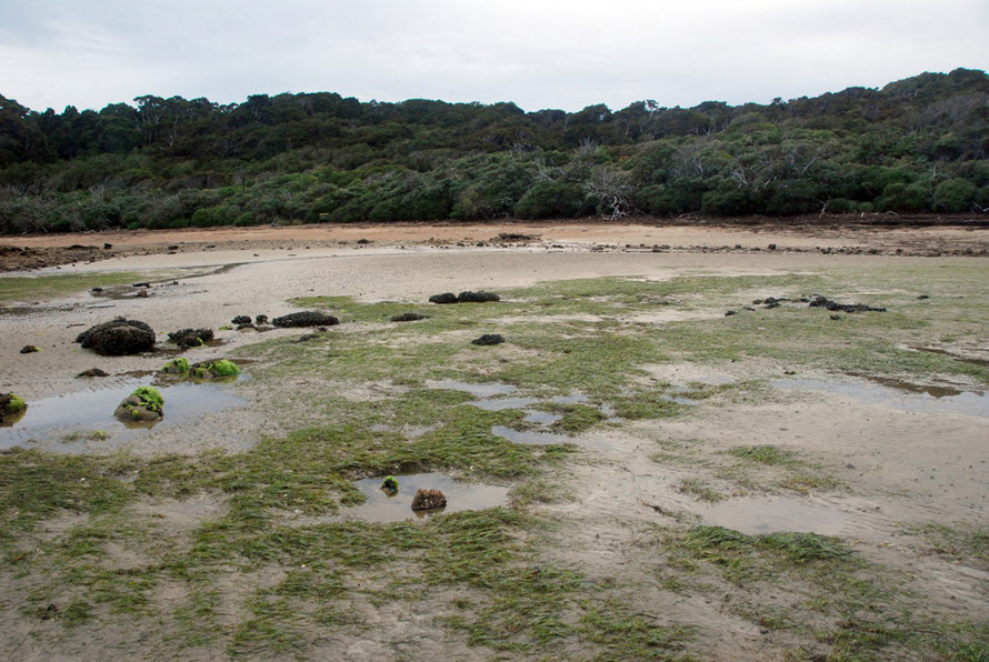 Boulder Beach on Ulva Island showing clear line of coastal scrub and higher rimu-Hall's Totara forest behind. Scrub consists of Dracophyllum longifolium (Inaka), olearia colensoi var. argentea and ole