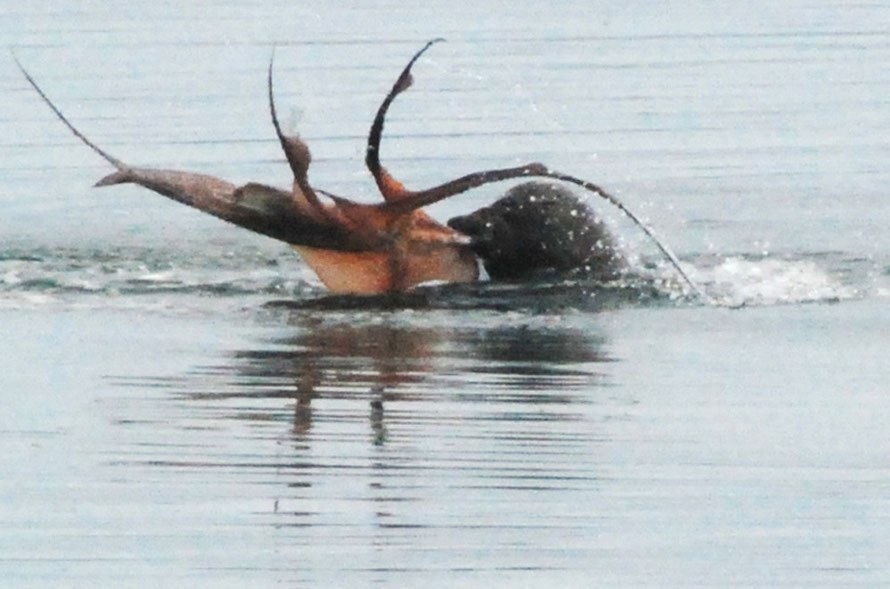 New Zealand Fur Seal dealing with large squid, West End Beach, Ulva, Stewart Island.