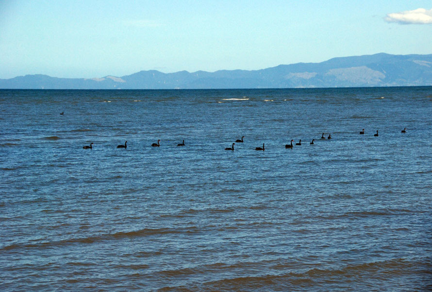 Black swans on Golden Bay north of Pakawau on the way to Farewell Spit
