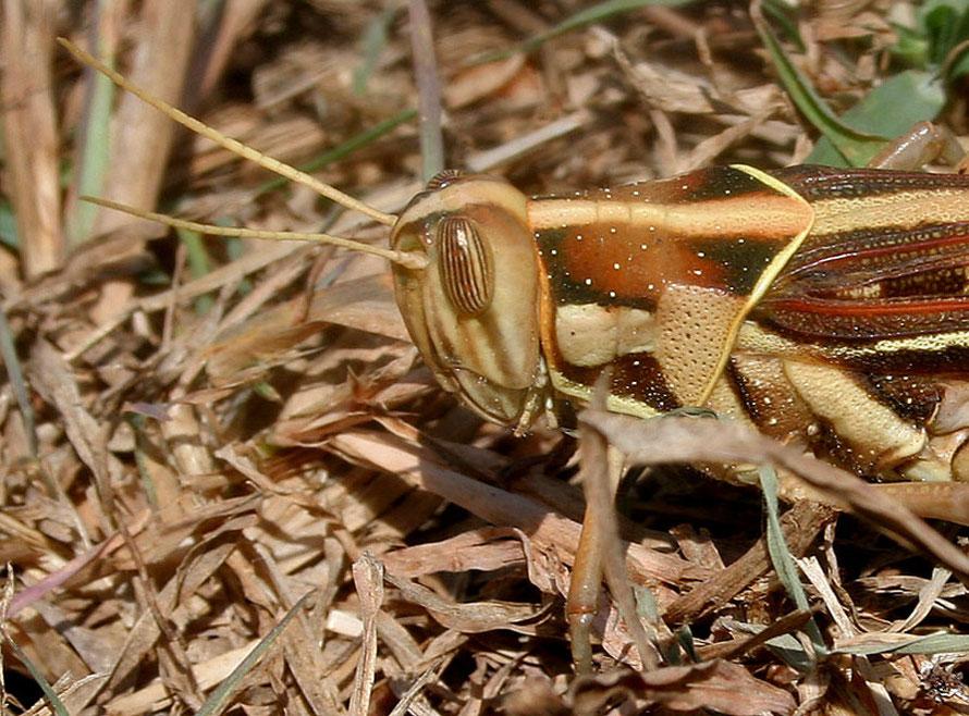 Desert Locust (Schistocerca gregaria) head (c)  JMGarg Wikimedia.