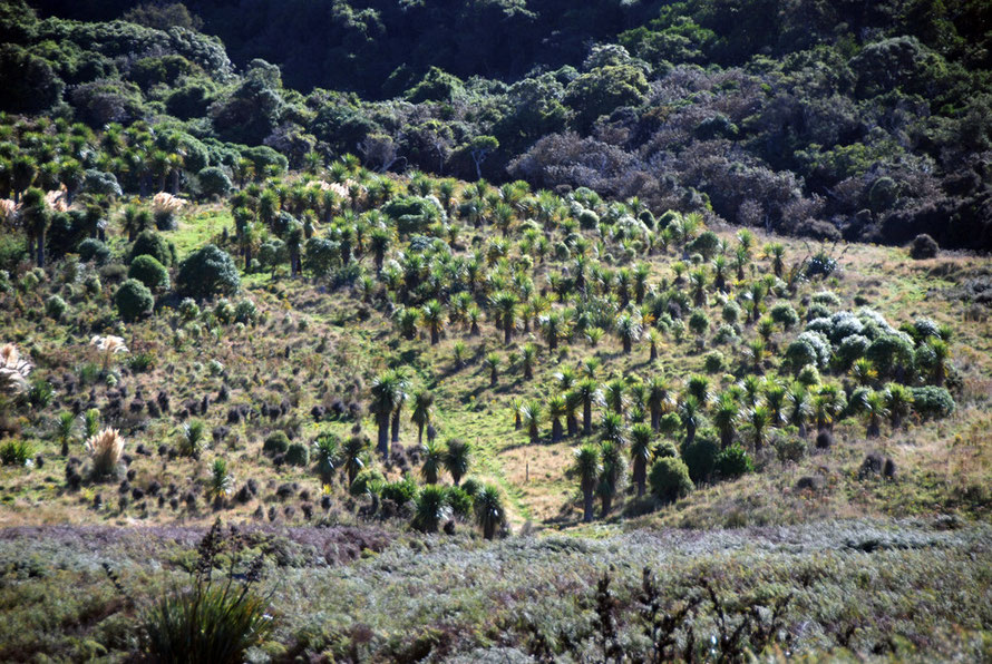 Regenerating tī kōuka/cabbage tree (Cordyline australis) grove, Okia Flats on the Otago Peninsula