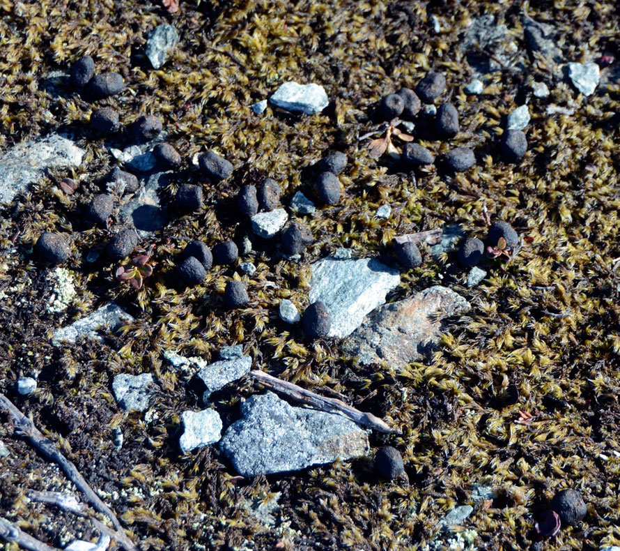 Arctic Hare droppings? at Russelv on the Lyngen Peninsula.