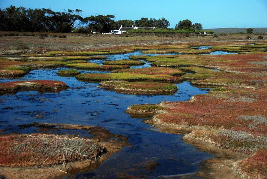 Brackish pools and mats of succulents, with the Geelbek centre in the background, West Coast National Park