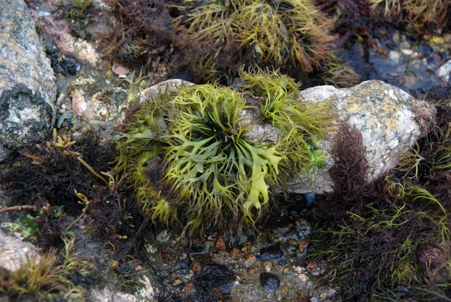 This succulent and delightful green seaweed looked good enough to eat on Boulder Beach, Ulva Island NZ. Can anyone identify please?