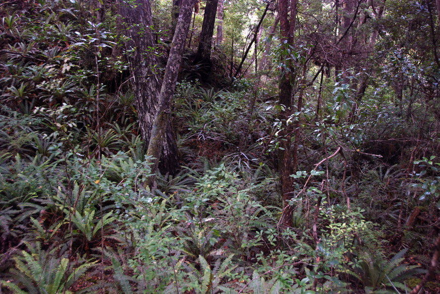 The tangle of the understory in the airy rain forest of Ulva Island, off Stewart Island. Ferns, hardwood shrubs, and epiphytes.
