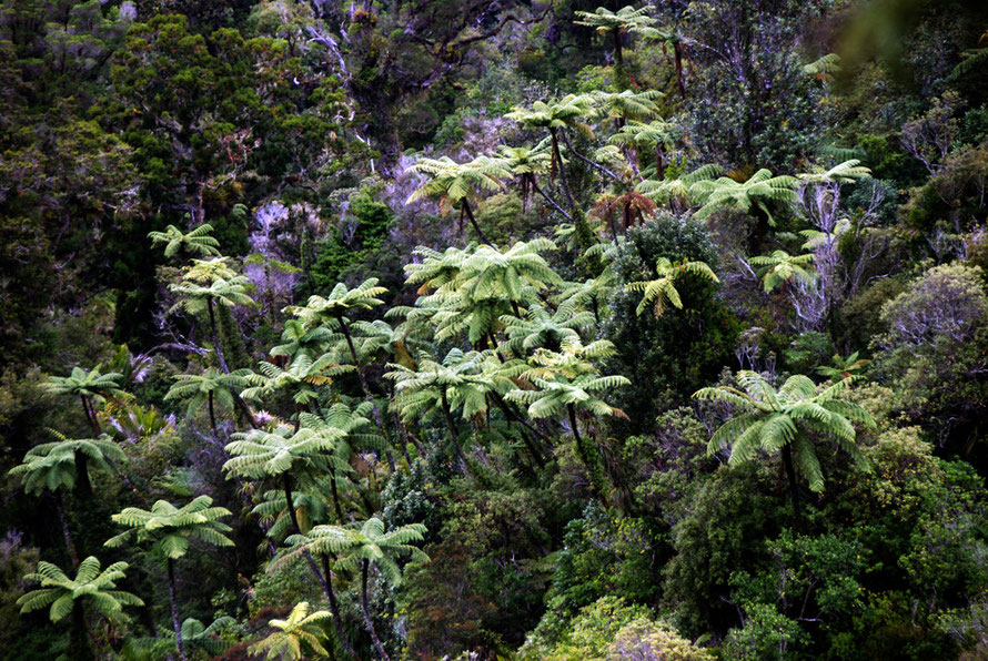 Trees ferns in regenerating temperate rain forest in the Coromandel Range from the Tapu-Coroglen road.