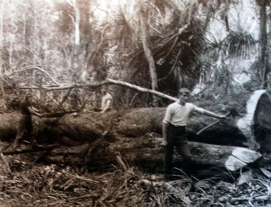 Lumber Operations for the Prouse and Sanders Mill at Mangarakau. The photo gives an indication of the bonanza of timber in the native forests of the area (from Aotere Centre display).
