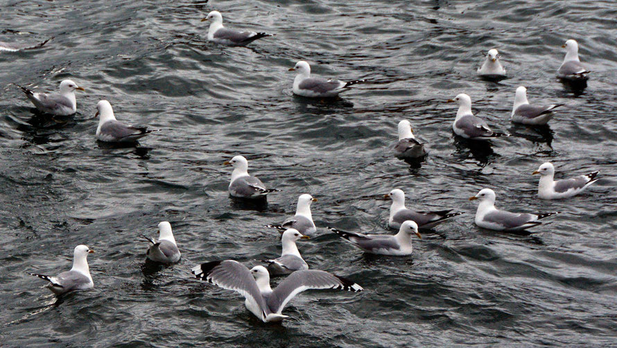Common Gulls at a district heating outflow by the sea-snow- dump in Tromsø.