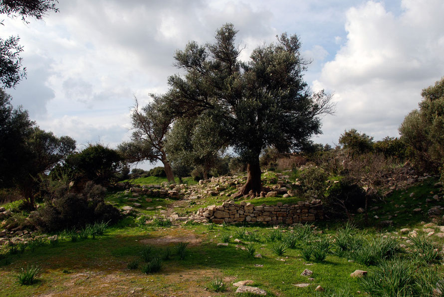 Grand olive trees at the church of St. Constantine and Helen standing amongst the scattered remains of a one time monastery  (January 2013).