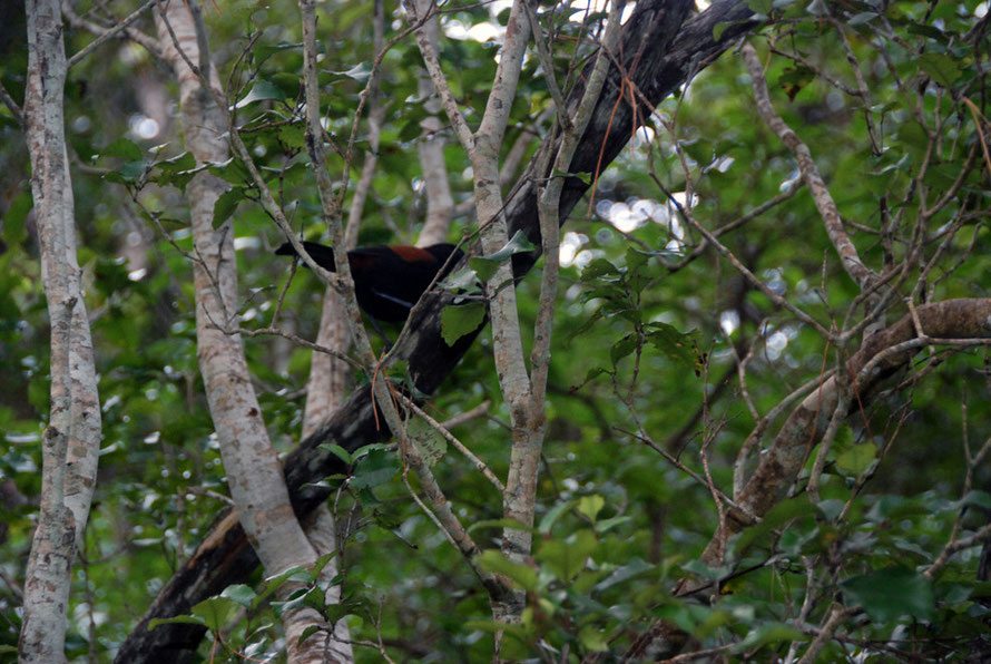 Southern Saddleback in Kamahi on Ulva, Stewart Island