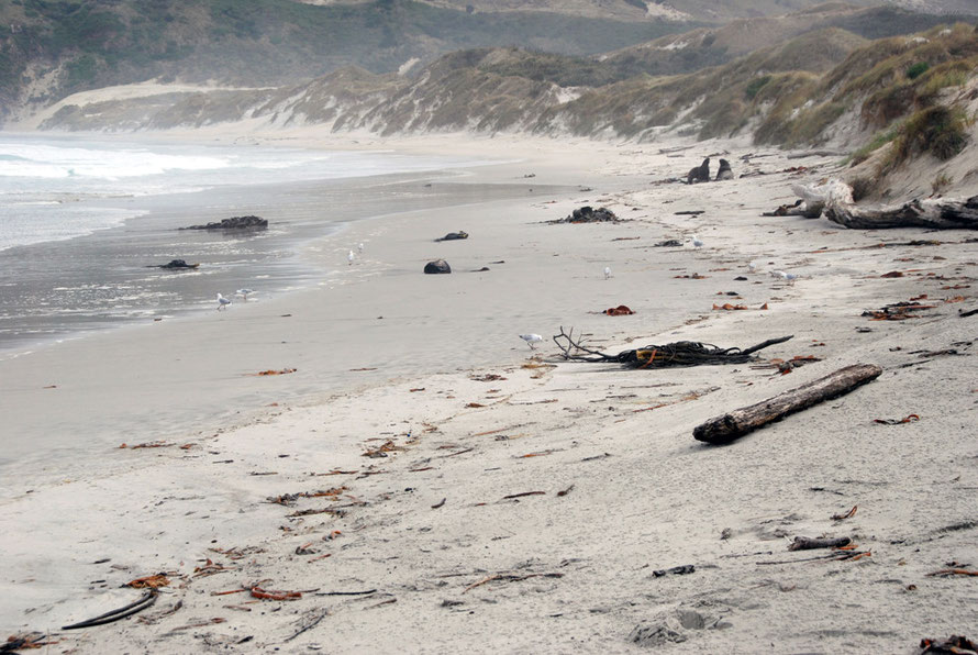 The almost primeval scene on wave-battered, gale-scoured Sandfly Beach with two bull sea lions in the middle distance.