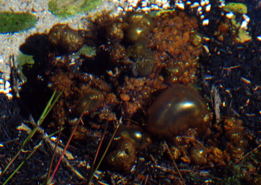 Strange golden bubbles (air sacs) at Te Waikoropupu Springs, Golden Bay.