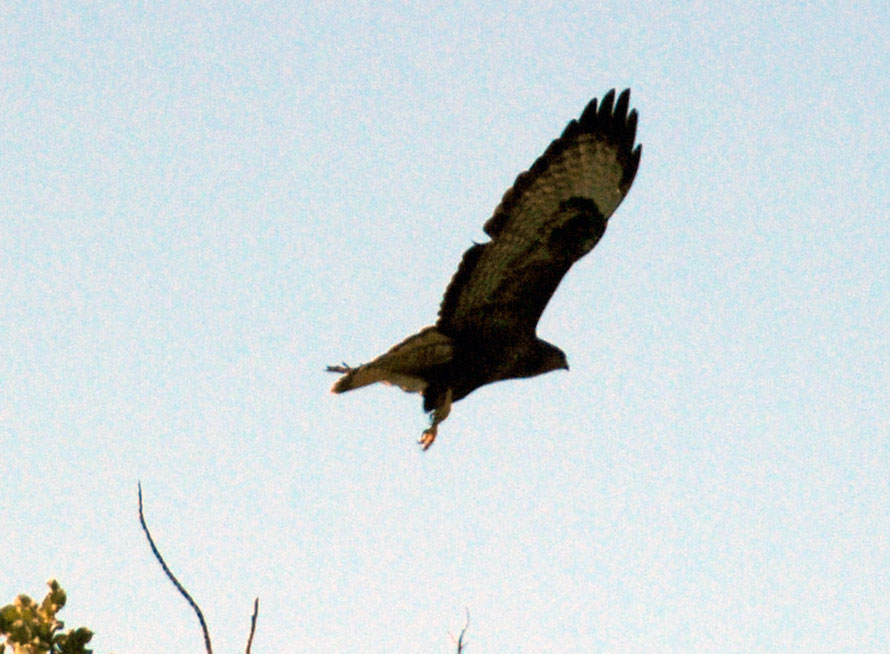 Common or Long-legged Buzzard, near Kofinou January 2013