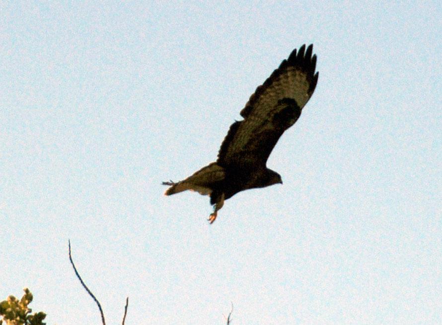 Common or Long-legged Buzzard, near Kofinou January 2013