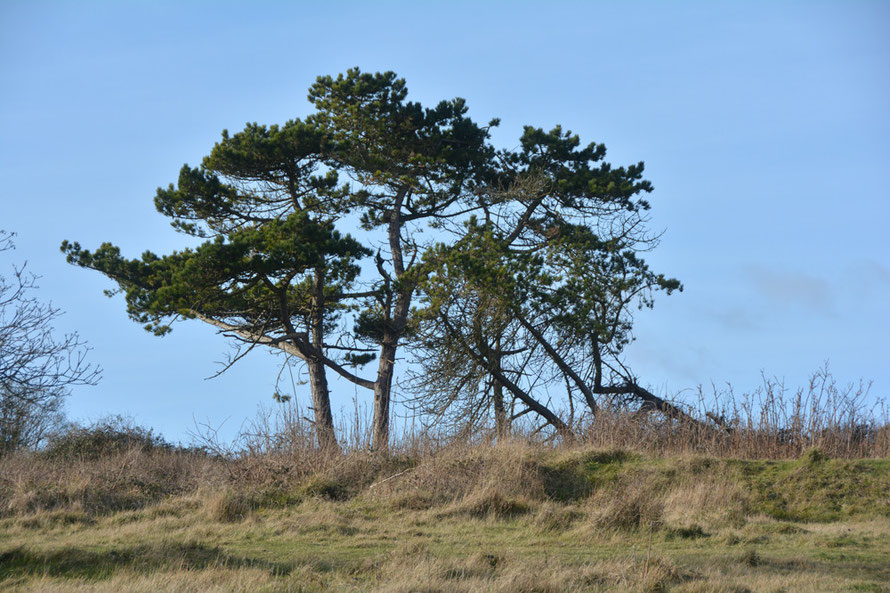 Maritime Pines (?) on the 'circuit' grown since the IIWW when these fields of old Hellfire Corner were awash with heavy fixed gun positions.
