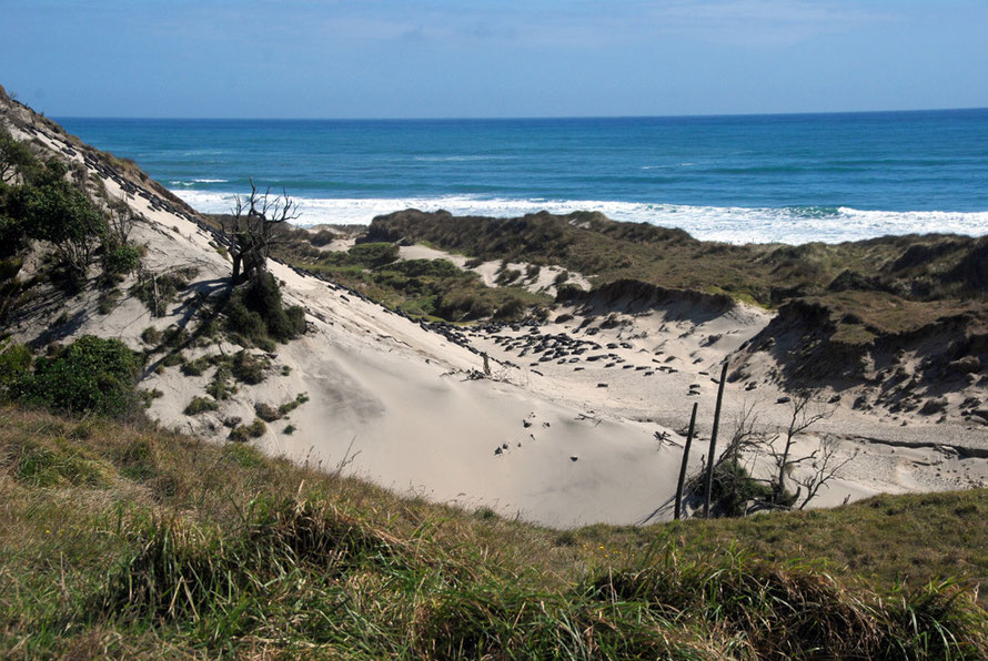 The Tasman Sea and prevailing westerlies batter the shoreline blowing sand inland into huge hills and dunes. Here tyre barriers are clearly failing to stop the erosion of the dunes and spread of sand