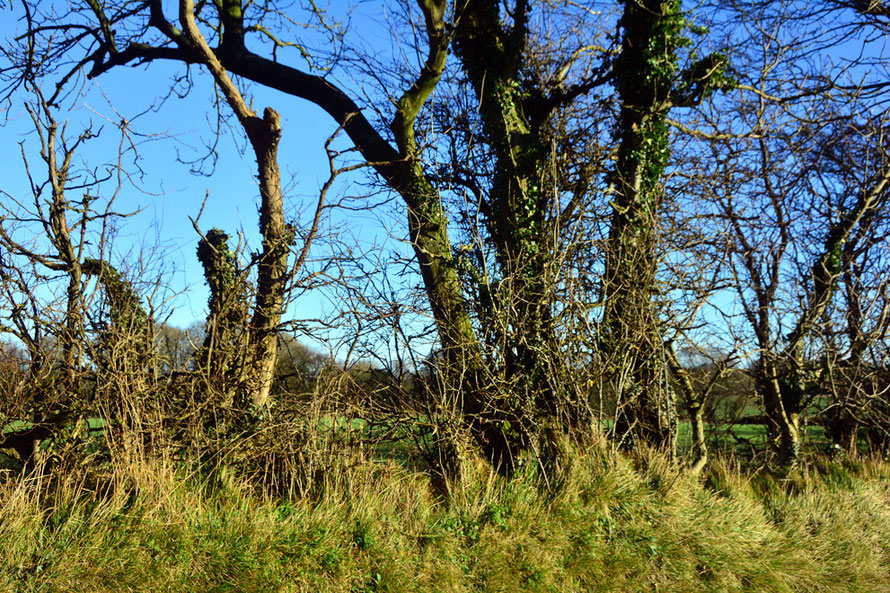 Hedgerow trees and grasses on Waldershare Lane in East Kent in cold, January 2015 sun.