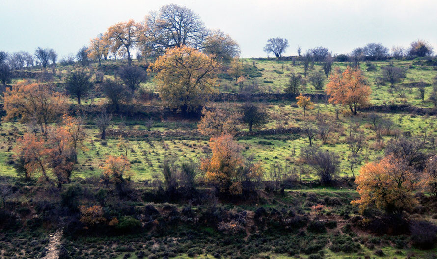 Golden-leaved oaks and partridge calling on the backroad to Paphos, January 2013