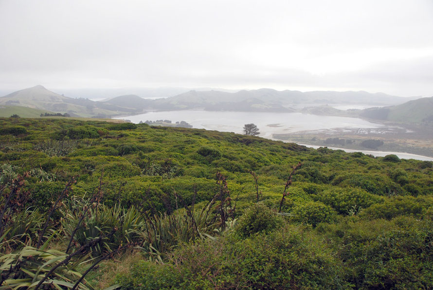 The Otago Peninsula from the Sandymount car park looking over Hoopers and Papanui inlets: flax and poisonous tutu (Coriaria arborea R. Linds.) scrub growing on the windblown sands