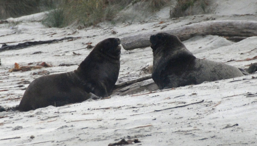 Two bull sea lions squaring off on Sandfly Beach, Otago Peninsula
