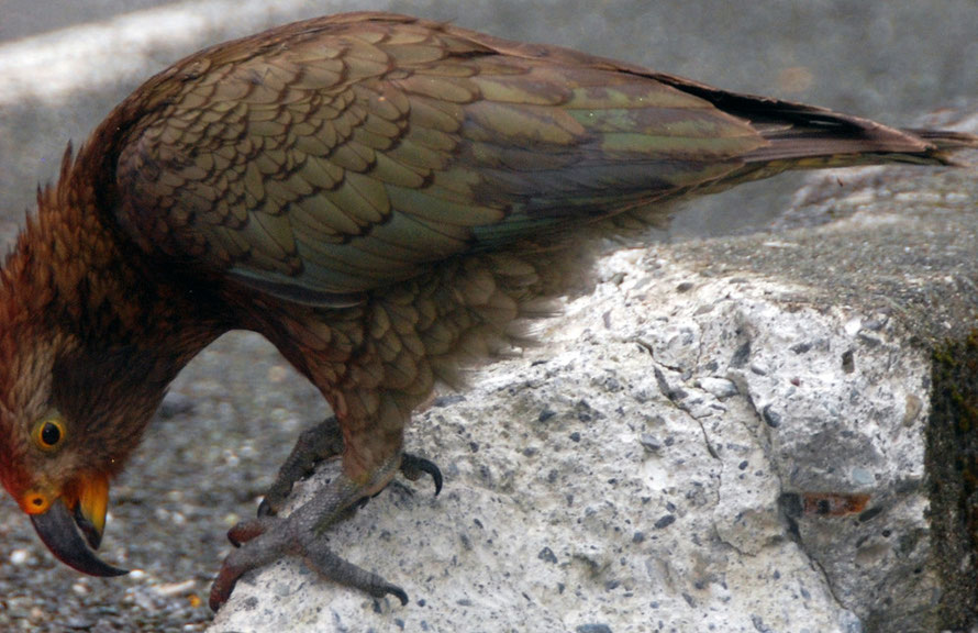This kea was inspecting the roadworks signs and picking at the high-vis sleeving on the crash bariers outside the Homer Tunnel entrance.
