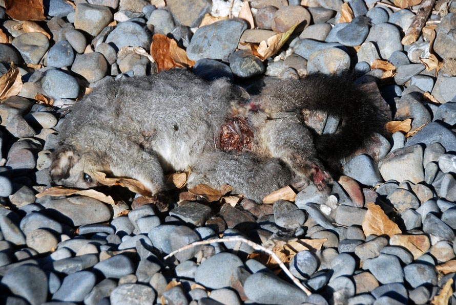 The first dead possum: Matingarahi Bay, Auckland.