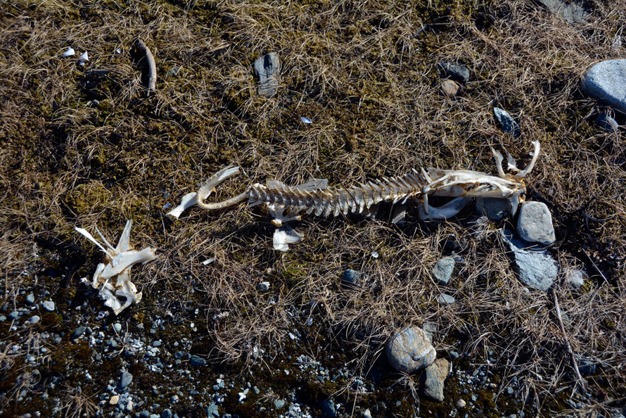 Fish bones on Russlev foreshore, probably Cod. 13th century Cod bones have recently been found in London excavations suggesting a rapid growth in impported stockfish from sub-arctic Norway.