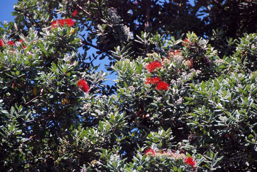 Late Pohutukawa (metrosideros excelsa) blossoms at the entrance to Karekare Beach.