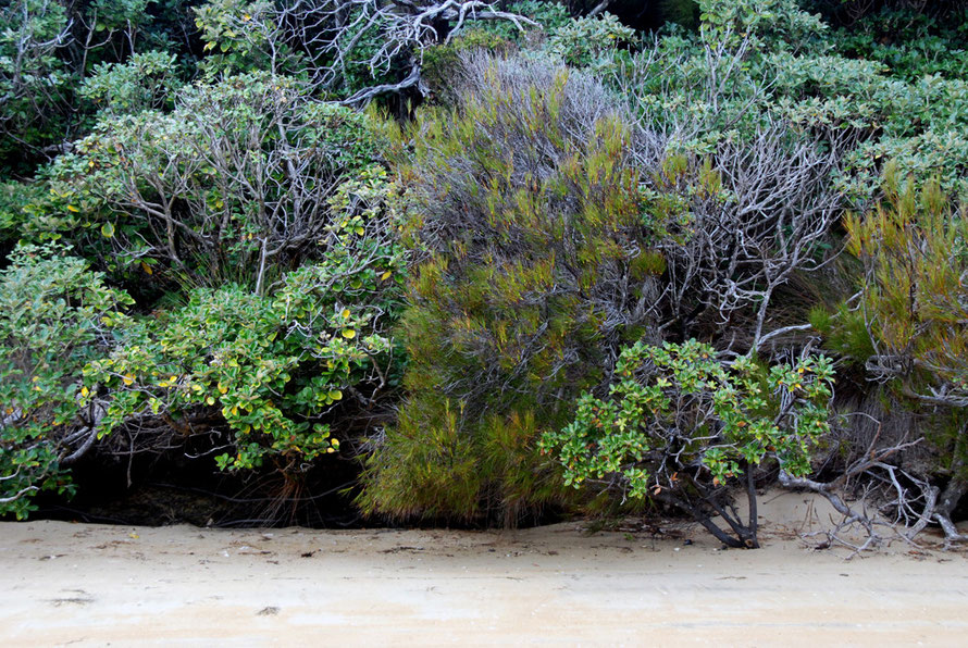 Coastal shrub line at West End Beach on Ulva Island _ Dracophyllum longifolium (Inaka), olearia colensoi var. argentea and olearia oporina