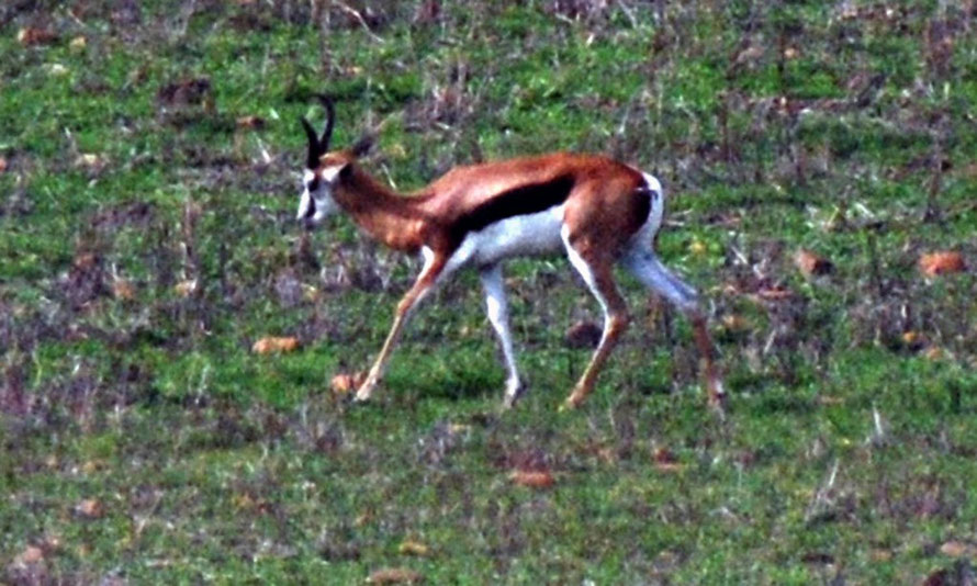 Springbok grazing in a field outside the Bontebok National Park