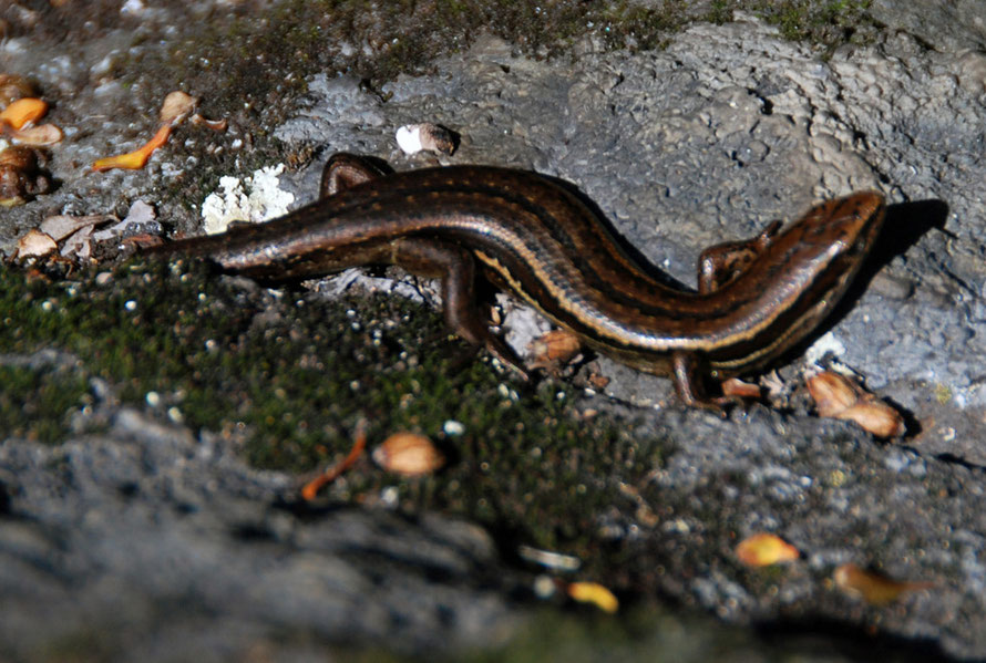 Common Skink (Oligosoma nigriplantare)  seen on the smaller of the two pyramids on Okia Flat, Otago Peninsula. New Zealand skinks give brith to live offspring.