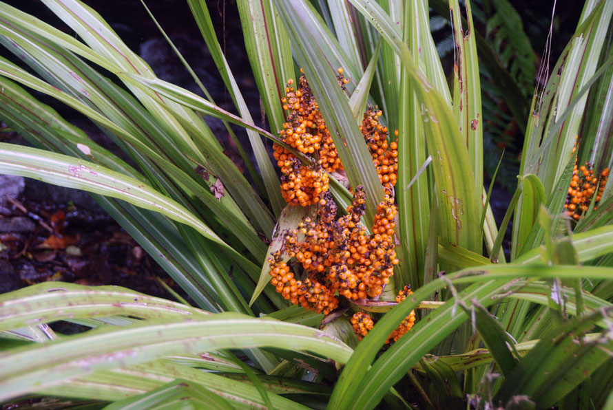 The Bush Lily (Astelia fragrans) with its charcteristic orange berries. This specimen on the Chalet Lookout Path at Fox Glacier.