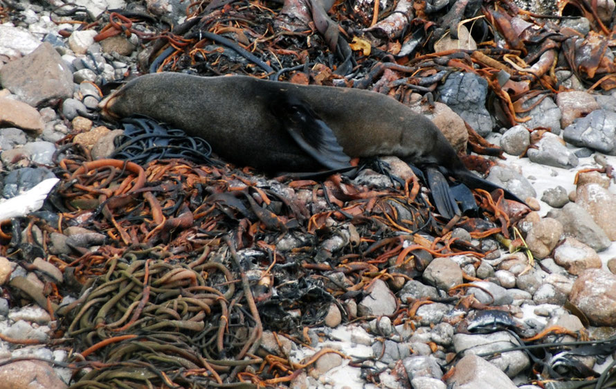 Who'd have thought a great big pile of bull kelp could be so luxuriously comfortable