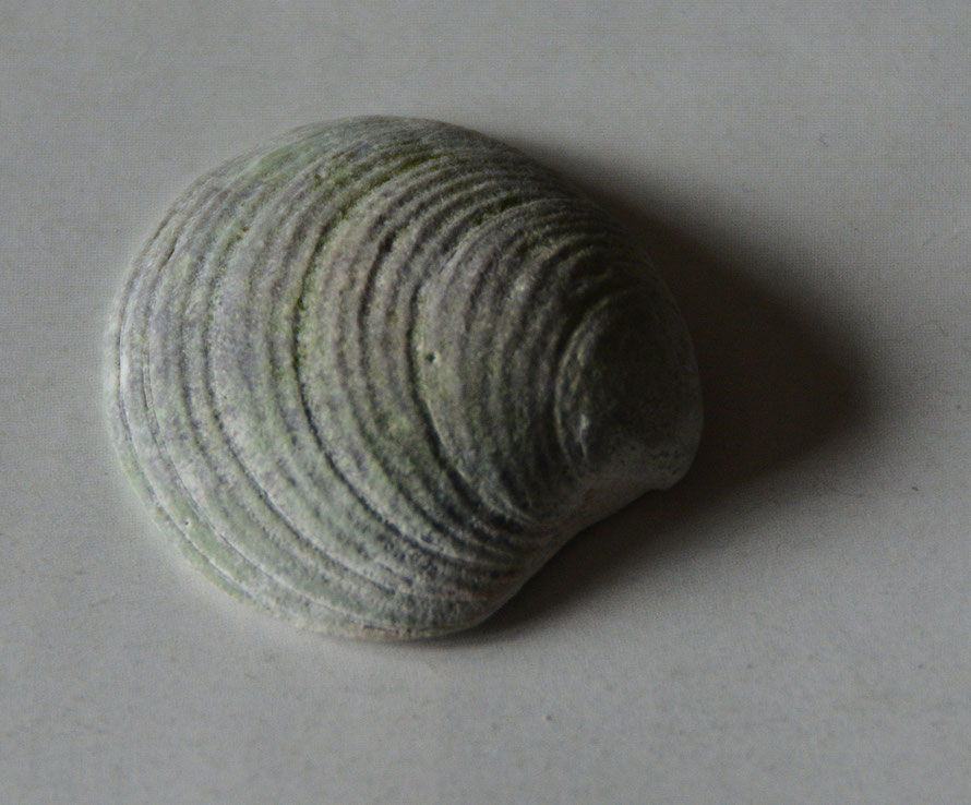Clam shell with blue hue from the Hydro bay on the road between Shieldaig and Fearnmore.