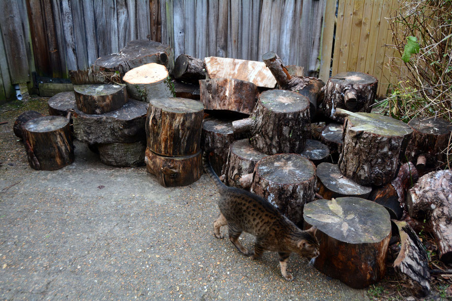 There is a difference between looking a gift horse in the mouth and accepting him and his family: part of the haul of complimentary logs. Mainly Martitime Pine with some big Beech rounds as well. The neighbour's cat inspectiong.