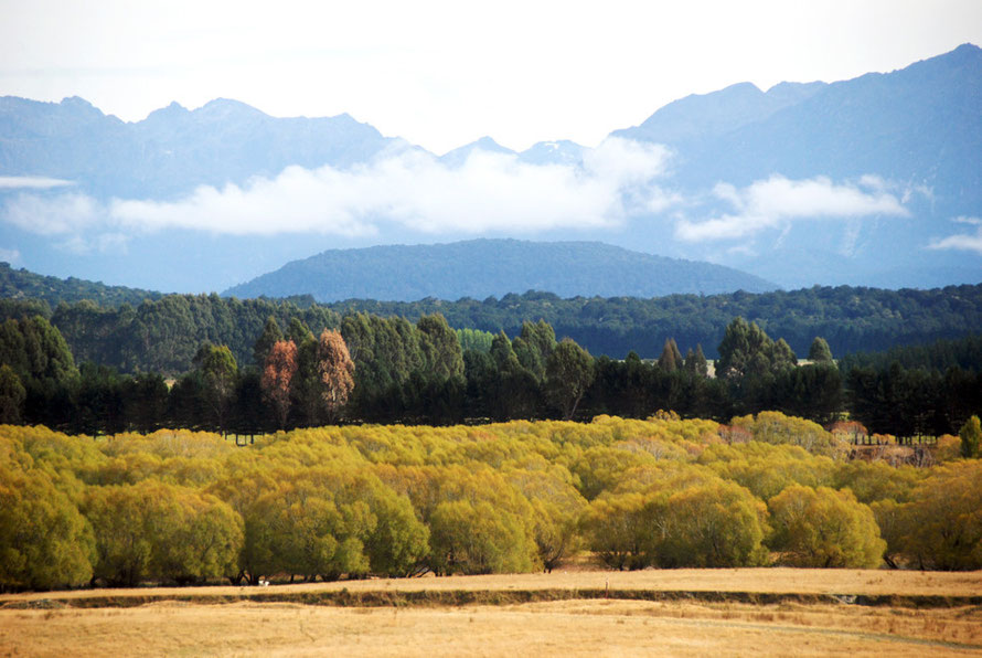 A strangely English scene in the Waiau River valley with willows, poplars and pine belts creating a veritable symphony of greens, ochre-yellows and matt blue-greens with the mountains rising behind.