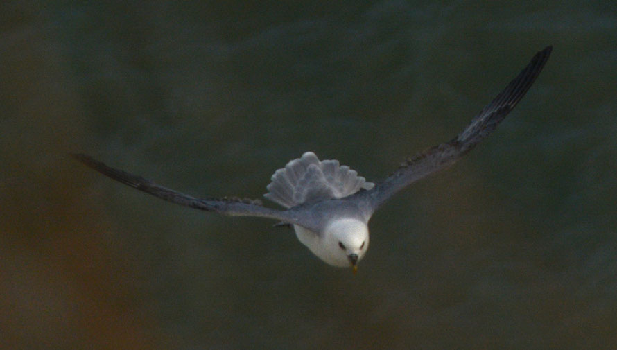 Air brakes: Fulmar approaching nesting site at full speed.