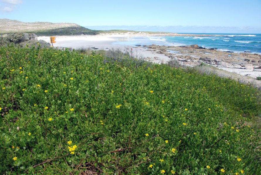 Succulents in bloom on the colonised sand behind the rockpools at Mossel Bay